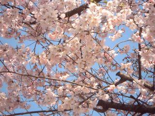 花園神社の桜の写真