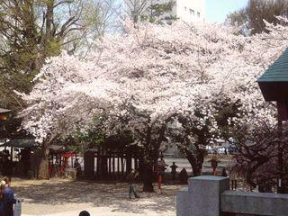 花園神社の桜