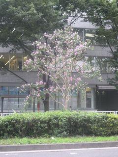 ピンクの花をつけた街路樹