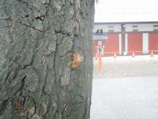 花園公園のセミの抜け殻