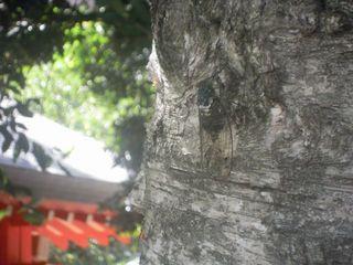 花園神社のミンミンゼミ
