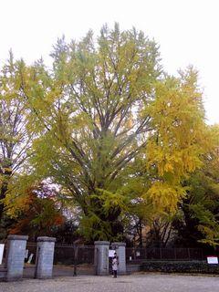 新宿御苑入口付近のイチョウの木